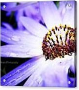 Lavender Senetti Acrylic Print by Lessie Heape