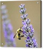 Lavender Visitor Acrylic Print