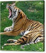 Lazy Afternoon Yawn Acrylic Print