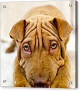 Lazy Dog Acrylic Print