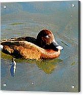 Lazy Duck Days Acrylic Print