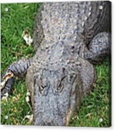 Lazy Gator II Acrylic Print