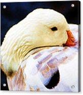 Lazy Goose Acrylic Print