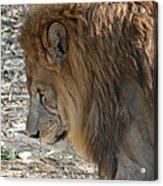Le Lion Acrylic Print