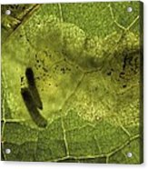 Leaf Miners In A Dock Leaf Acrylic Print by Vaughan Fleming