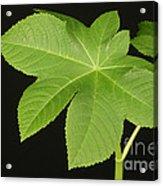 Leaf Of Castor Bean Plant Acrylic Print