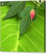 Leaf On Leaf With Red Bud Acrylic Print
