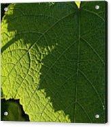 Leaf Shadow Acrylic Print