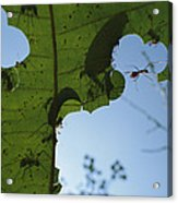 Leafcutter Ant Atta Columbica Workers Acrylic Print
