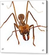 Leafcutter Ant Worker Costa Rica Acrylic Print