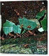 Leafcutter Ants Acrylic Print