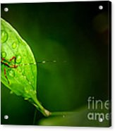 Leafhopper 3 Acrylic Print