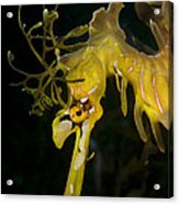 Leafy Sea Dragon Acrylic Print by Matthew Oldfield