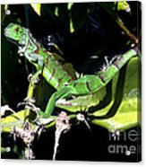 Leapin Lizards Acrylic Print