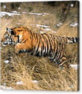 Leaping Siberian Tiger Acrylic Print