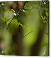 Leaves And Thorns Acrylic Print