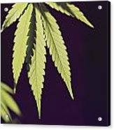 Leaves Of A Marijuana Plant Cannabis Acrylic Print