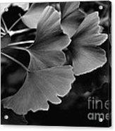 Ginkgo Biloba Leaves Acrylic Print
