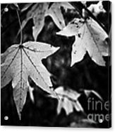 Leaves Without Color Acrylic Print