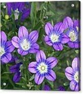 Legousia Pentagonia Flowers Acrylic Print by Bob Gibbons