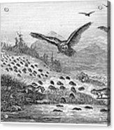 Lemming Migration Acrylic Print