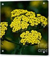 Lemon Lace Acrylic Print