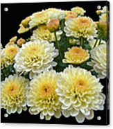 Lemon Meringue Chrysanthemums Acrylic Print