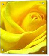 Lemon Yellow Rose Acrylic Print