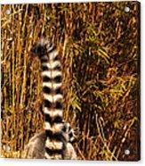 Lemur Tail Acrylic Print