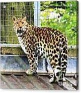 Leopard 3 Acrylic Print