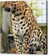 Leopard 5 Acrylic Print