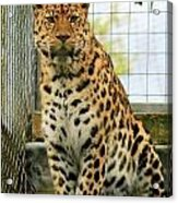 Leopard 6 Acrylic Print