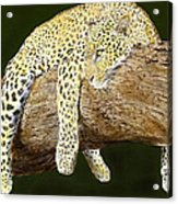 Leopard At Rest Acrylic Print by Yvonne Scott
