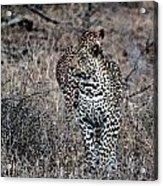 Leopard Hunt Acrylic Print
