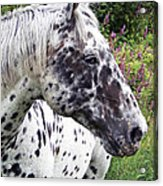Leopard Of The Pacific Acrylic Print