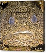 Leopard Toadfish Acrylic Print by Clay Coleman