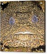 Leopard Toadfish Acrylic Print