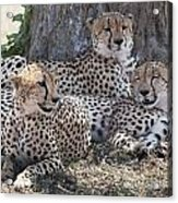 Leopards, Kenya, Africa Acrylic Print