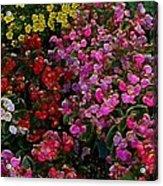 les fleurs II Acrylic Print