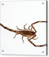 Lesser Brown Scorpion Acrylic Print