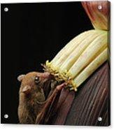 Lesser Long-tongued Fruit Bat Acrylic Print