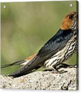 Lesser Striped Swallow Acrylic Print by Peter Chadwick