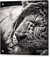 Let Sleeping Tiger Lie Acrylic Print