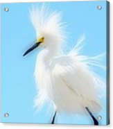 Let The Fluff Fly Acrylic Print
