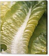 Lettuce Leaf Acrylic Print by Sheila Terry
