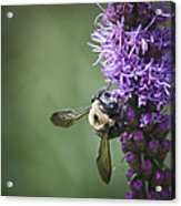 Liatris And Bee Squared 2 Acrylic Print