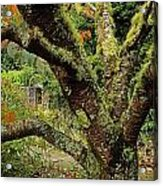 Lichen Covered Apple Tree, Walled Acrylic Print