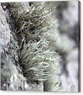 Lichen Niebla Podetiaforma Acrylic Print