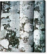 Lichen On Cinnamon Trees Acrylic Print by Georgette Douwma
