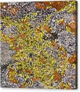 Lichens Acrylic Print